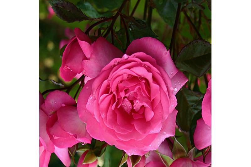 rosen kordes edelrose eliza adr rose a qualit t premium. Black Bedroom Furniture Sets. Home Design Ideas